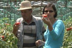 Premiile anului în agricultură de la guvernul PSD: verde la subvențiile pentru roșii și porci