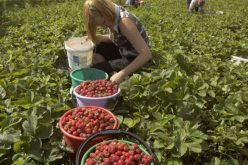 Căpșunii spanioli așteaptă muncitorii români. Salariul e cam 1000 de euro pentru 8 ore