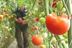 Zeci de fermieri bistrițeni aplică pentru subvenția de 3000 de euro la tomate. Banii vin doar după ce ce demonstrează că au vândut 2 tone