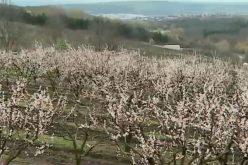 Fructele amenințate de valul de frig și în Bistrița-Năsăud. Temperaturile sub zero grade le dau frisoane pomicultorilor