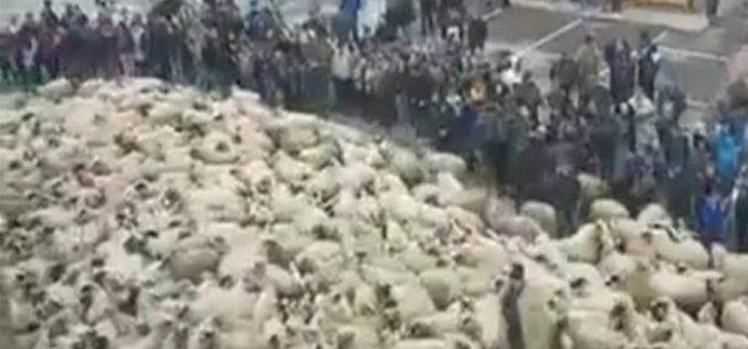 PROTEST INEDIT: Primăria din Sângeorz-Băi pichetată de ciobani și turme de oi. Primarul a încercat în zadar să stea de vorbă cu protestatarii. VIDEO