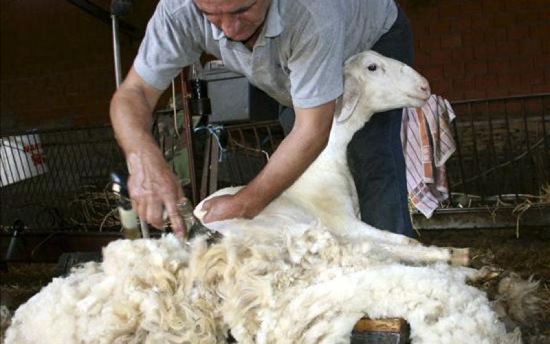 """Oierii vor primi ajutoare de minimis pentru lâna vândută. """"Nu e mult, însă măcar se gândește cineva la problemă după 20 de ani! """"spun oierii bistrițeni"""