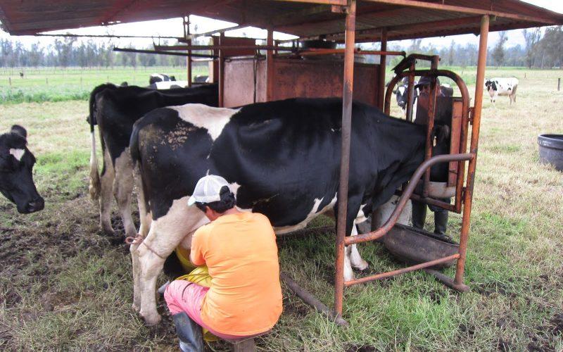 Doar 800 de fermieri bistrițeni au reușit cu cererea pentru ajutoarele de lapte. Sunt mai puțin de un sfert din numărul estimat