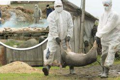 România activează planul de contingență pentru pesta porcină. Bistrița a organizat acum 3 ani un exercițiu național impotriva acestei epizotii
