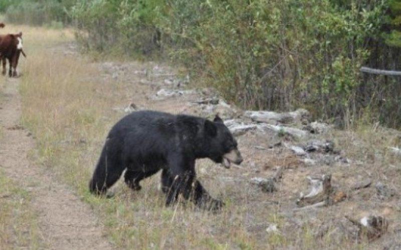 Ministrul Mediului dă verde la vânătoarea de urși și lupi agresivi. Spune că sunt cote de intervenție