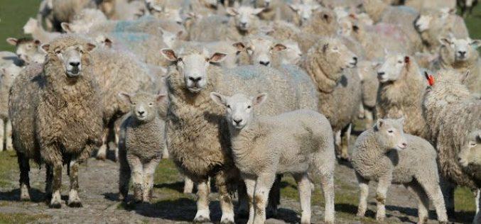 Tone de carne de oaie de la abatoarele din Bistrița-Năsăud au ajuns anul acesta în Oman și Sri-Lanka