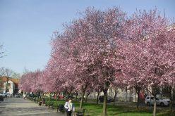 Apel la umbra caișilor în floare: lăsați în pace Parcul Eminescu și faceți-vă parcarea subterană în altă parte