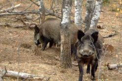 Un nou focar de pestă porcină africană la mistreți pune pe jar și autoritățile din Bistrița-Năsăud