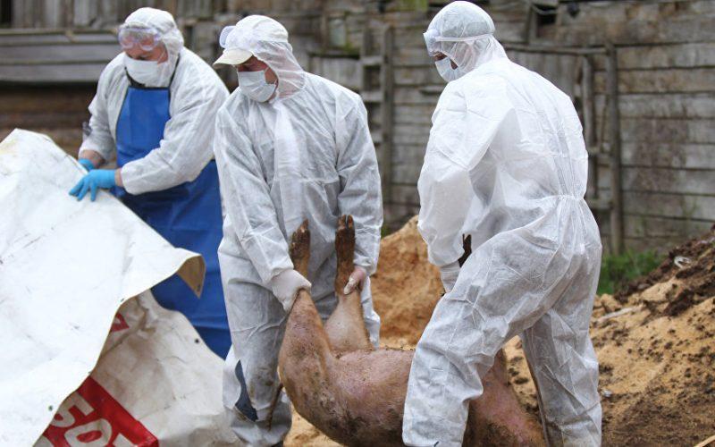 Pesta porcină a provocat pagube enorme în sudul tării, iar trei focare sunt în apropierea județului
