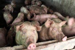 Pesta porcină africană a ajuns la granița județului Bistrița-Năsăud. Sunt deja filtre rutiere la limita cu Maramureșul