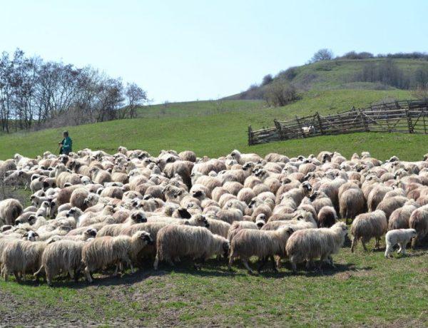 O ursoaică a făcut prăpăd printre oile unui crescător din Șintereag.