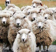 Un constănțean care l-a lăsat fără turma de oi pe un locuitor din Căianu Mic a fost adus cu mandat  după trei ani